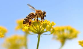 Ratunek dla pszczół?
