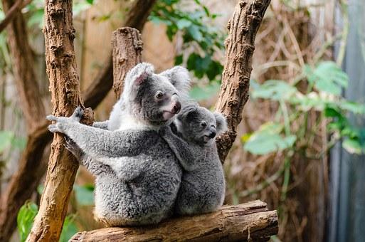 Misie koala zagrożone przez pożary