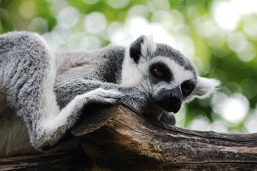Lemury koroniaste we wrocławskim zoo
