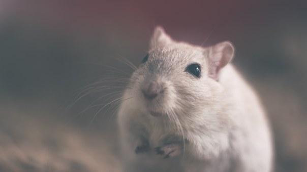 Szczury potrafią prowadzić samochód