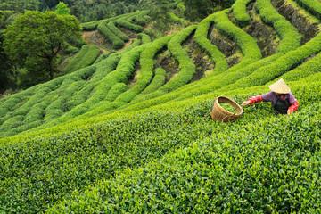 Co ma wspólnego zielona herbata z gruźlicą?