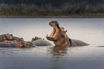 Drony chronią hipopotamy