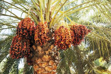 Palmy wyhodowane z nasion sprzed 2 tys. lat