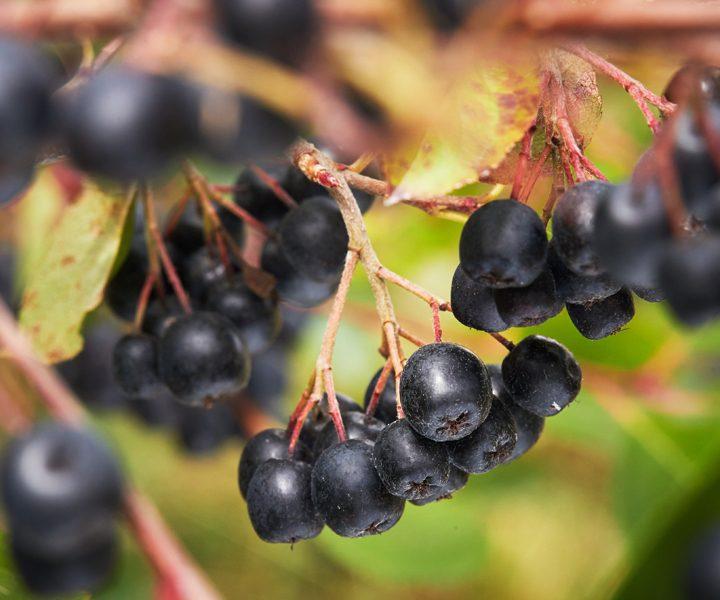 Tych dobroczynnych substancji aronia ma najwięcej spośród wszystkich owoców